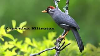 Master kicau - poksai genting | Garrulax Mitratus