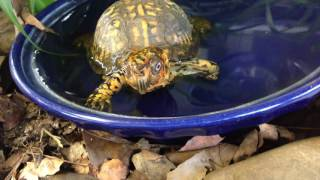 Box Turtle is Potty Trained -SPARKY VID