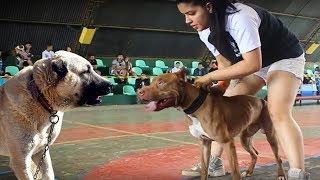 PİTBULL mu ? KANGAL mı ? ( Sizce Hangisi ? Karar sizin ) En Güçlüler, Köpek, Strongest Dogs