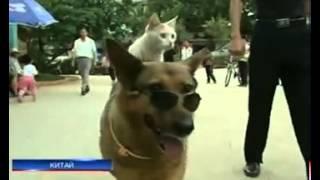 В Китае кот подружился с собакой настолько, что ездит...
