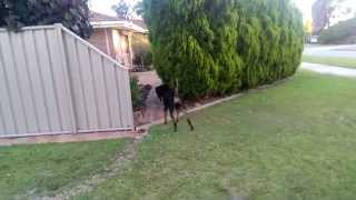 Cat Attacks Rottweiler. Scared Rottweiler. Mean Cat Funny Cats And Dogs