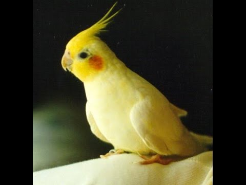 Cocktail bird baby 90 day youtube for Cocktail yellow bird