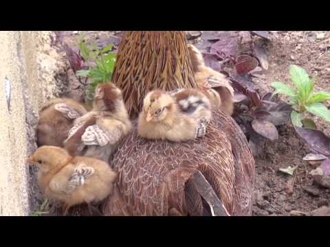 CHICKS PLAY WITH HEN- chick Birds and Mom-BEAUTIFUL VIDEO FOR KIDS-Rukmini Nagender