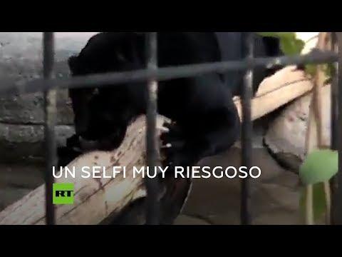 Un Jaguar Ataca A Una Joven Por Un Selfi En Un Zoo De EE.UU.