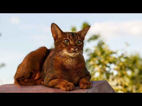 Abyssinian cat | The domestic short-haired cat  | Animal Beast