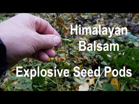 Himalayan Balsam Explosive Seed Pods. Impatiens Glandulifera.