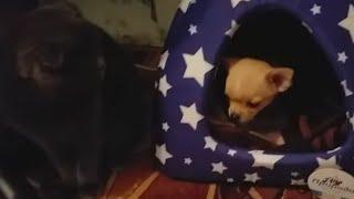 Купили щенка чихуахуа//знакомство с кошкой))🐈🐕奇瓦瓦