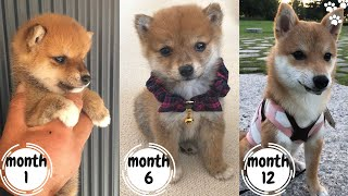 Shiba Inu Puppy Growing up from Puppy to Adult (3 weeks to 1 year) | Shiba Inu Funny Compilation