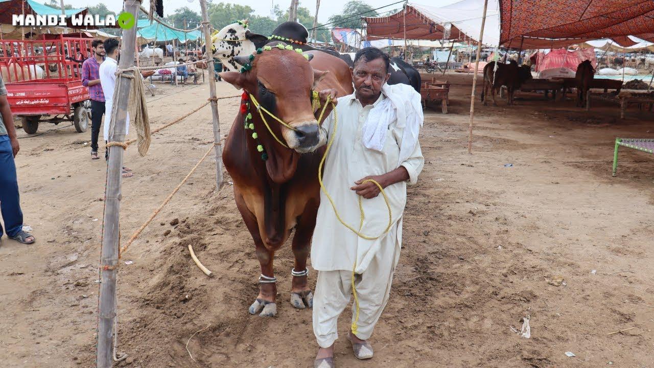 BIG BULLS QURBANI | NIAMUANA COW MANDI FAISALABAD | PAKISTAN EIDULADHA 29 JULY 2019