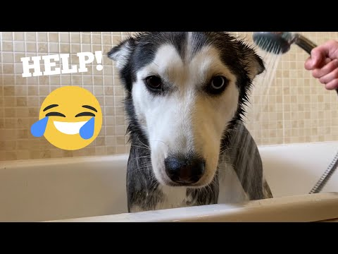 Funny Baby Attempts To Help Bath My Stubborn Husky Puppy! [FUNNIEST REACTION EVER!!]