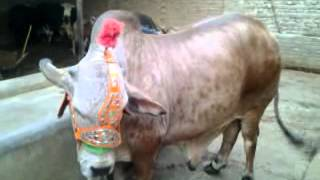 Choulistani cow for sale, AAS Cattle Farm Liaquat Colony Hyderabad, sindh, 03342614010