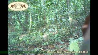 Wild Muntjac - Elephant Hills and Rainforest Camp