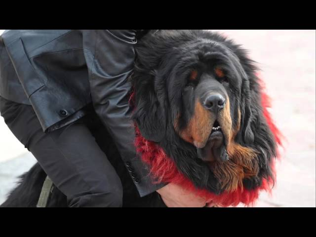 Why do Tibetan Mastiffs wear kekhors?
