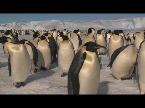 شاهد: اختفاء ثاني أكبر مستعمرة للبطاريق الملكية في القطب الجنوبي…  - نشر قبل 60 دقيقة