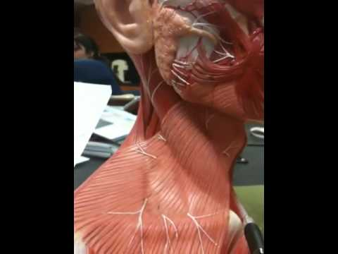 Muscles - YouTube