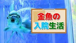 【金魚】怪我の治療中の和金【アクアリウム】 thumbnail