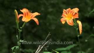 Spider makes web at Daylily plant