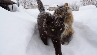 #Koshlandia, Siberian Farm cats February Февраль Сибирские деревенские кошки