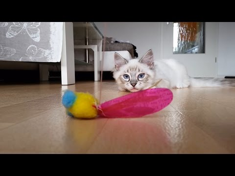 Hunting call from Ragdoll Kitten Thorin - too cute!