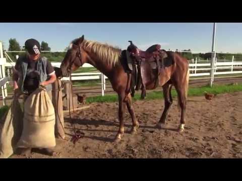 Вопрос: Как приучить лошадь к седлу?
