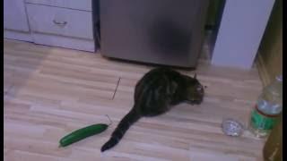 Видеоопровержение о кошке боящейся огурца.