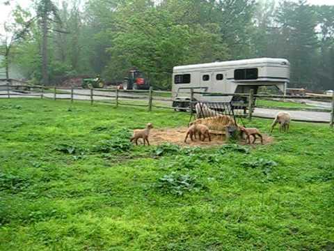 Greenacres Farm  - Lambs playing