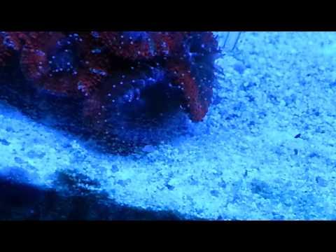 Feeding The Saltwater Aquarium Reef Chili and Brine Shrimp