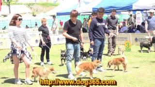MAY 14 2016 Korean Kennel Club Shiba Inu Specialty Show http://www....