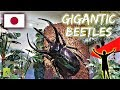 Finding Gigantic Beetles