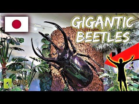 Finding Gigantic Beetles