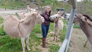 Interacting with donkeys: treats \u0026 affection