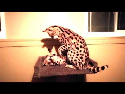 Cute Serval Cat Playing with His Little Friend