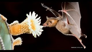 Love tequila, love pollinating bats!
