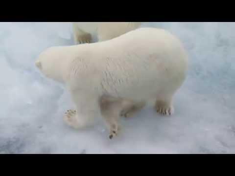 An Amazing Polar Bear Encounter on A&K's Northwest Passage Voyage
