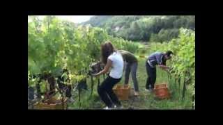 Azienda agricola il Grappolo  di Pontida  vendemmia del  2012  ad Ambivere  ultima  parte.wmv