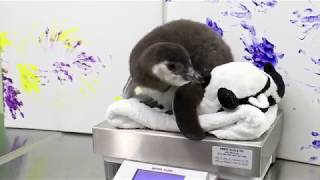 Magellanic Penguin Chick Weigh-In
