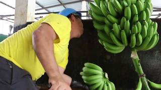 Medidas de prevención para el Moko del plátano