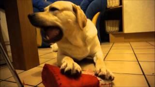 Labrador Retriever Max, Eating Shoe!!!