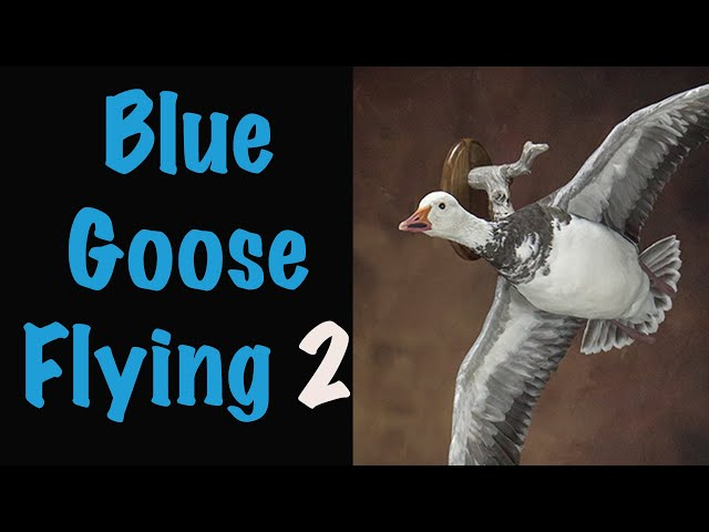 Blue Goose Taxidermy Part 2. Waterfowl Taxidermy