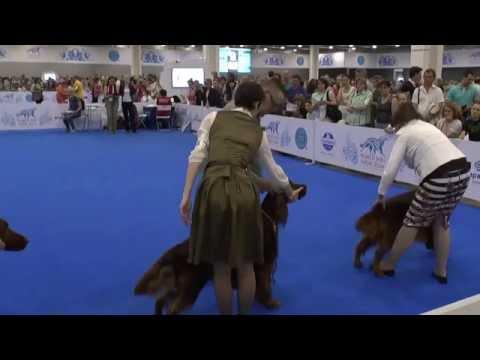 World dog show 2016. Irish red setter. Best male.