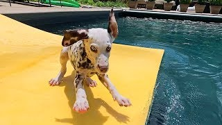 Dalmatian Puppy on a Floaty Pool Ramp