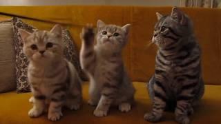 Котята британцы.Полосатые красавцы