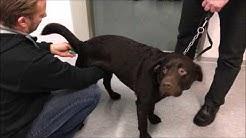 Kuumeen mittaaminen koiralta by eläinlääkäri Tepponen