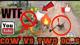 Funniest moments of cow and two dogs