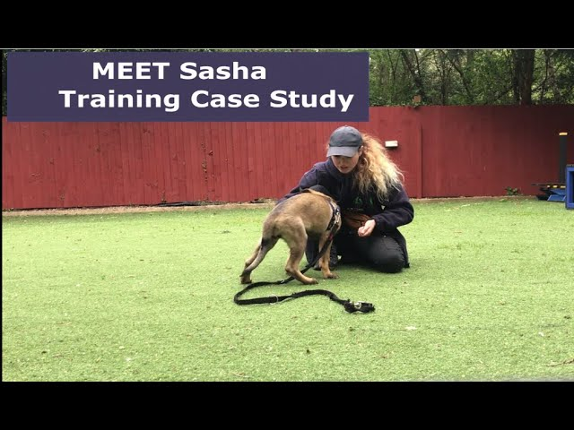 Sasha Case Study - Focus and Confidence Training for a German Shepherd  Puppy