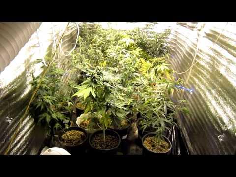 Grow room 2. Начало цветения