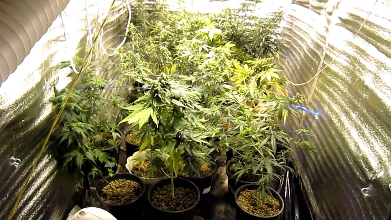 фото марихуаны