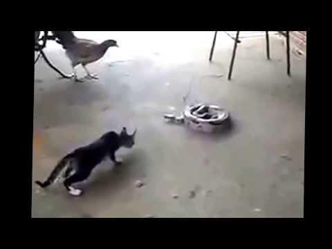 Gato VS Jibóia