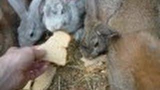 Прикольные кролики (зайцы) разной раcцветки! Кормление(Куча разноцветных прикольных кроликов (зайчиков)! Живут в одном месте, в домашней ферме, домашней кроликофе..., 2012-09-14T02:30:24.000Z)