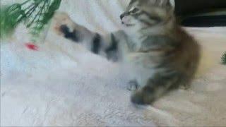 Котята курильского бобтейла. ПРОДАЖА.
